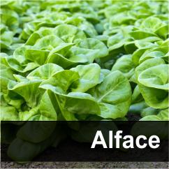 alface1