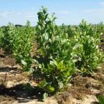 Acacia mangium – Aproveitamento de 100% da árvore