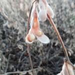 A escolha da semente ideal de soja