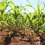 Dow AgroSciences lança híbrido superprecoce de alto investimento