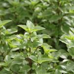 Pesquisa revela técnica para aumentar produção de manjericão