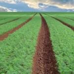 Silício reduz a severidade de bacterioses e fungos de solo na cenoura