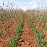 Silício é aliado no controle de nematoides em hortaliças