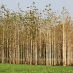 Efeitos dos desbastes florestais no diâmetro e altura das árvores