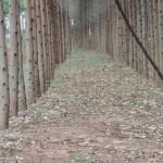 Cupins causam sérios prejuízos às lavouras de eucalipto