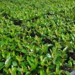 Fatores determinantes no enraizamento de miniestacas em viveiros clonais de eucalipto