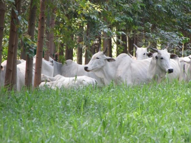 Foto 05 - A pecuária é beneficiada pelo bem-estar animal, promovido pela sombra das árvores - Crédito Sérgio José Alves