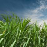 Clima favorece cultivo de cana-de-açúcar em Goiás