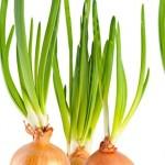 Escolha da variedade de cebola resistente às doenças foliares