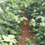 Maracujá com café é opção atrativa para o produtor
