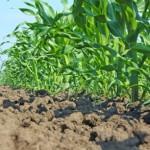 Ácidos húmicos aumentam as raízes laterais nas plantas