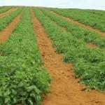 Saladete rasteiro: Mais sabor com menor custo