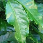 Razões para analisar folhas do cafeeiro