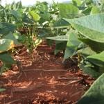 Aplicação de fósforo a lanço aumenta a eficiência do plantio de feijão