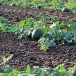 Cresce o uso de gotejo em melancia