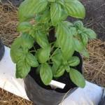Ervas aromáticas – Diversificação da produção