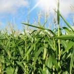 Brasil pode dobrar a produção de milho
