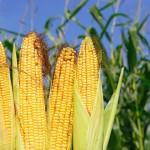 Dekalb promove primeira ação simultânea para produtores de milho em todo o Brasil