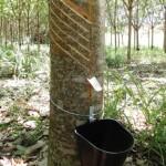 Uso de fosfitos de potássio em seringueira