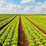 Ácidos húmicos promovem crescimento da alface