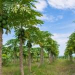 Bahia lidera produção de mamão