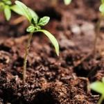 Enraizadores otimizam produção de mudas de tomate