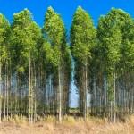 Redes Neurais Artificiais – A realidade da silvicultura brasileira