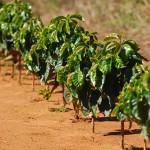Micronutrientes – nutrição adequada para o café