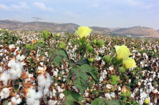 Mato Grosso, maior Estado produtor de algodão   - Crédito Shutterstock