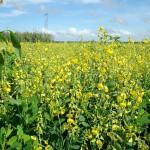 Adubos verdes em consorciação com culturas agrícolas