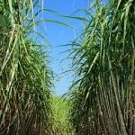 Temperatura acima da média favorece temporais em áreas produtoras de cana-de-açúcar