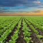Fósforo proporciona rendimento e crescimento da beterraba
