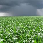Híbridos transgênicos de milho – Opções para todas as necessidades