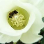 Polinização natural otimiza produção do algodão