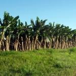 Sigatoka negra causa problema sério na bananicultura