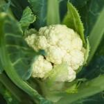 Nutrição inteligente na produção de couve-flor