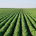 Cultivares de soja resistentes aos nematoides asseguram produtividade