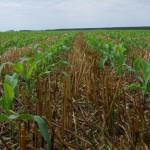 Consórcio de forrageira e milho safrinha são eficientes na reestruturação do solo