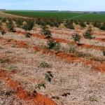 Técnicas para aplicação do glyphosate em eucalipto
