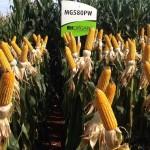 Morgan Sementes apresenta na AgroBrasília novo híbrido de milho para o cerrado