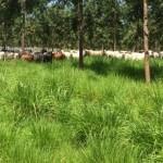 Aumento da Rentabilidade via integração Lavoura-Pecuária-Floresta