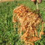 Nematoides causam prejuízos de R$ 35 bilhões/ano ao agronegócio
