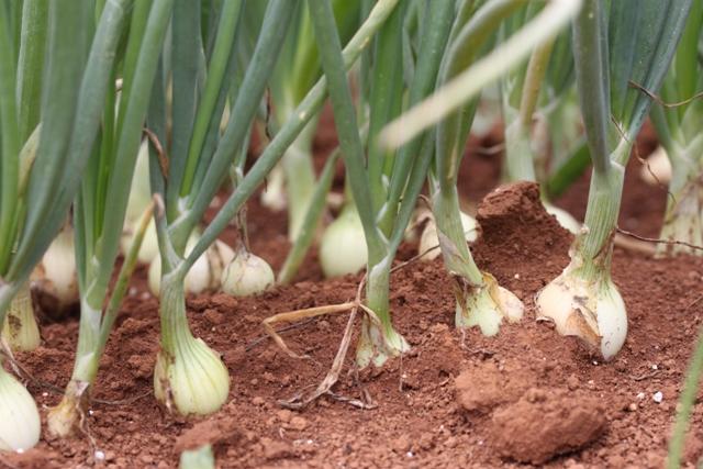 A utilização de cultivares resistentes sempre é uma opção - Crédito Luize Hess