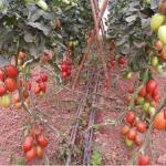 Novo sistema de condução de tomate proporciona rentabilidade 200% superior