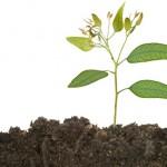 Uso do silício no cultivo de mudas de eucalipto