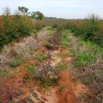 Deficiência de fósforo limita produção florestal