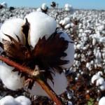 Fertilizantes com aminoácidos aumentam a produtividade do algodoeiro