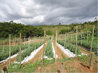 Detalhe do sistema de tutoramento utilizado no Sistema Viçosa de Cultivo do tomateiro - Crédito Victor de Souza Almeida
