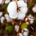 Embrapa avança no desenvolvimento de algodão tolerante à seca