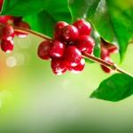 Importância do período de frutificação do café